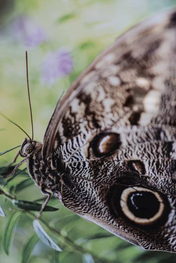Photo print on metal of a closeup of an owl butterfly
