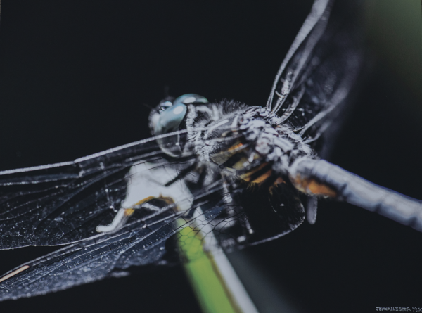 Photo print on metal of a closeup view of a dragonfly. looking at its side and a little down at it with a black background.